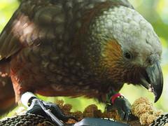 Kaka eating kakariki food. (digitaltrails) Tags: kaka nestormeridionalis zealandia karorisanctuary