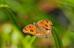 Junonia almana (Changer4Ever) Tags: nikon d7200 nikkor butterfly animal life nature color colorful bokeh dof depthoffield closeup macro outdoor season bright light wild wildlife