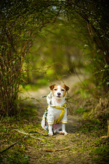 Spring Path (moaan) Tags: kinoko toyonaka osaka japan jp dog jackrussellterrier dogportrait path springtime bokeh dof utata 2017 leica mp leicamp type240 noctilux 50mm f10 leicanoctilux50mmf10