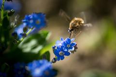 bombylus (Thomas DARTIGUES) Tags: pdc bleu blue flower bokeh dof profondeur de champ plante fleur effet brillant macro calme extérieur