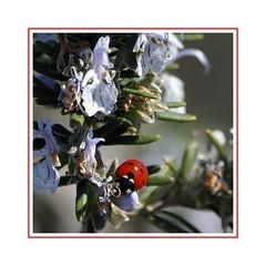 Di fiore in fiore - From flower to flower (Jambo Jambo) Tags: rosmarino rosemary macro fiori flowers primavera spring nikond5000 jambojambo grosseto parcoregionaledellamaremma maremma maremmatoscana maremmacountryside toscana tuscany italia italy