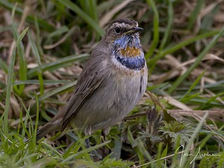 Bluethroat at Willow tree Fen ( 1 ) 22/03/17