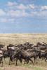 The Great Migration (virtualwayfarer) Tags: serengeti tanzania eastafrica easternafrica tanzanian nationalpark wild safari adventuresafari adventure wildlife greatmigration nature landscape mara simiyu migration unesco unescoworldheritage heritage canon canon6d wilderbeast herd greatherd wildebeest gnus antelope connochaetes bluewildebeest