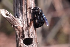 Early - 02 III 2016 (el.gritche) Tags: hymenoptera france 40 garden nest male xylocopinae xylocopairis apidae best bee abeille