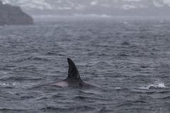 Orque (JordiOssau) Tags: cetacea cétacés delphinidae delphinidés hiver killerwhale lofoten mammalia mammals mammifères norvège orcinusorca orque mer neige voyage nordland
