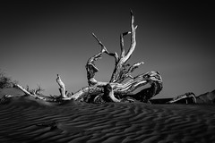 Dead Tree In The Dunes (Mike Schaffner) Tags: bw blackwhite blackandwhite dead deadtrees deathvalley deathvalleynationalpark dunes dvnp mesquitedunes monochrome nationalpark park sand sanddunes tree trees stovepipewells california unitedstates us
