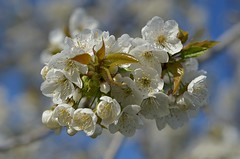 bouquet on bokeh (robra shotography []O]) Tags: bouquet bokeh blossom spring bloom afmicro60mmf28d