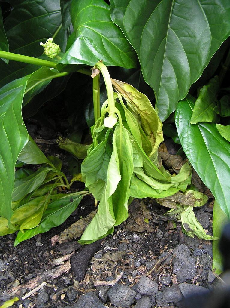 Morinda Citrifolia Research Paper – 203228