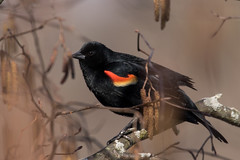 3069 (Eric Wengert Photography) Tags: redwingedblackbird bird
