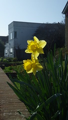 Sneak Peek Because of Easter: Architectural Love in Spring :>)) (catchesthelight) Tags: eastsussexengland yellow daffodils spring flowers scenic landscape uktravel bliss deco
