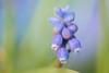 Grape Hyacinth in the Park (pallab seth) Tags: grapehyacinth muscari muscarineglectum macro dof spring flower barking park england london signofspring bokeh nature garden samsung60mmf28macroedoisssalens samsungnx1 springgarden