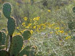 Brittlebush in the Light (RV Bob) Tags: saguaronationalpark tucson arizona gx85 brittlebush flower cactus bokeh enceliafarinosa