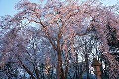 lighting of weeping cherry blossoms (peaceful-jp-scenery (busy)) Tags: cherry blossoms flower spring sakura takadapark takadajoucastle サクラ 桜 夜桜 春 高田公園 高田城 日本三大夜桜 観桜会 上越 新潟 日本 sony α99ⅱ a99m2 ilca99m2 amount sal2470z variosonnart2470mmf28za carlzeiss