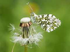 Orange Tip Butterfly (bredmañ) Tags: orangetipbutterfly butterfly insect wild uk british wildlife nature naturallight closeup macro handheld olympus em1 60mmmacro anthochariscardamines dandelion seedhead seeds