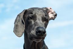 Alert Mode (VanaTulsi) Tags: vanatulsi weim weimaraner dog blueweim blueweimaraner