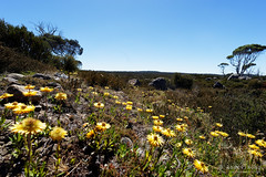 20170228-03-Everlasting daisies (Roger T Wong) Tags: australia centralplateauconservationarea greatpinetier sel1635z sony1635 sonya7ii sonyalpha7ii sonyfe1635mmf4zaosscarlzeissvariotessart sonyilce7m2 tasmania wha worldheritagearea bushwalk camp centralhighlands everlastingdaisies flowers hike trektramp walk