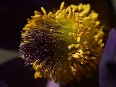 Pulsatille des montagnes (JMVerco) Tags: macro fleur flower fiore flickrchallengegroup