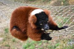 Red-Ruffed Lemur (littlestschnauzer) Tags: lemur redruffed red ruffed animal cute fluffy adorable cargo net sheffield nature madagascar native furry 2017 tourist attraction visit yorkshire climbing nikon d7200