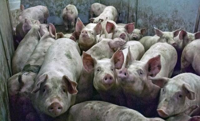 Бурятских свиней оградят отафриканской чумы