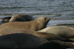 Lobos marinos 8 (isabel muskiz) Tags: lobos marinos animales animals argentina sea lions puerto madryn peninsula valdes mar patagonia