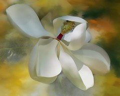 Magnolia #3040 (Christina's World aka Chrissie Bee) Tags: flower white magnolia nature garden blossom texture art creative painterly whiteflower macro petals