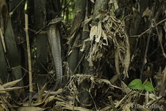 Protective Mother (Elliot Pelling) Tags: snake king cobra bali nest defence ophiophagus hannah wild rescue reptile snakes venomous mother indonesia hood hooded animal animals