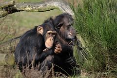 Chimpansee (K.Verhulst) Tags: chimpansee chimpanzee ape mensaap beeksebergen safaripark safariparkbeeksebergen apen monkeys tilburg hilvarenbeek