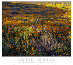 Dappled (Justin Lowery) Tags: wildflowers nature bloom superbloom flowers spring california poppies bluebells intrepid intrepidcamera 4x5 largeformat fuji fujifilm fujichrome provia slidefilm transparency fineart landscape lakeelsinore fujinon 180mm 56