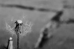 blown ... (rainbowcave) Tags: dandelion blowball taraxacumofficinale concrete asphalt petals pusteblume feldweg