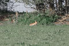 Hicks Lodge Rabbit (Vinny Burns) Tags: 5dmk3 hickslodge 2017 5dmkiii 5dmarkiii 5d3 eos rabbit ef70200mmf28lisusmmk2 moira england unitedkingdom gb