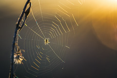 Sunset spider... (.: mike | MKvip Beauty :.) Tags: sony⍺7markii sony⍺7ii sonyilce7m2sonyalpha7m2 sonyalpha sony alpha emount ⍺7ii ilce7m2 fe sel90m28g sonyfe90mmƒ28macrogoss 90mmf28macro oss 90mm f28 primelens prime manualfocusing manualexposure manual handheld availablelight naturallight backlight backlighting sunset sunsetlight shallowdof bokeh bokehlicious beyondbokeh extremebokeh smoothbokeh closeup macro makro dreamy soft zen nature orange yellow web cobweb spiderweb spider spring wörthamrhein germany europe mth mkvip ngc