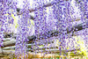 DSC_1590 (sayo-tsu) Tags: 藤 wisteria 牛島のフジ 春日部市 埼玉県 kasukabe saitama 特別天然記念物