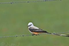 Scissortail (Jim Johnston (OKC)) Tags: scissortailedflycatcher statebird waurika oklahoma barbed wire