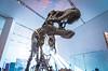 Big heads and small hands make for lousy lovers (Rob Hurson) Tags: toronto canada pentax pentaxk30 royalontariomuseum dinosaur saurischian tyrannosaur tyrantlizard tyrannosaurusrex carnivore skeleton fossil plastercast