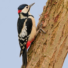 Great Spotted Woodpecker (Dendrocopos major) (microwyred) Tags: greaterspottedwoodpecker birds wildlife venuspools