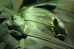 Dainty Green Tree Frog, Taronga Zoo, March 26th 2013 (Southsea_Matt) Tags: tarongazoo sydney newsouthwales australia march 2013 spring canon 60d 24105mm wildlife amphibian nature daintygreentreefrog litoriagracilenta