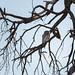 Perl-Sperlingskauz / Pearl-spotted Owlet
