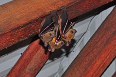 Bats in the Pondok (Sky and Yak) Tags: bats bat pondok kubah borneo