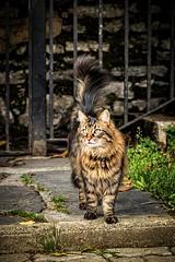 (nereaoroquieta) Tags: animal elegante cat tigre gato callejero katua pet naturaleza nature