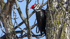 Pileated Woodpecker,.. (John Mac Giolla Phádraig Leisen) Tags: onlywildanimals newyork wyoming california nature migrate bird hawk fish conservation johnmacgiollaphádraigleisen lauriesigel devlin adirondackmammals environmentalscience adirondackmammalsenvironmentalscience frame11 photography canon nikon leica
