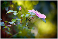 Hanbury XX (::YS::) Tags: yann savalle yannsavalle yasa sony alpha99 flower fleur flora nature garden hanbury green spleen love