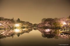 井の頭池 夜桜 (D.Kitagawa) Tags: inokashirapark 井の頭公園 夜桜 sakura night reflection 反射 cherry
