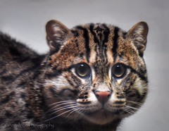Fishing Cat (AngelVibePhotography) Tags: fishingcat feline animal cat wildlife nature photography bigcat closeup animals