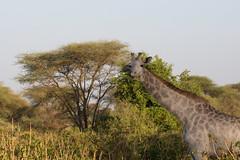 Omo the leucistic giraffe (Ring a Ding Ding) Tags: 2017 africa giraffacamelopardalistippelskirchi littlechemchem omo tanzania tarangire leucistic nature rare safari wildlife manyararegion coth ngc