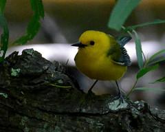 DSC_2440 e4 8x10 crop (J Telljohann) Tags: prothonotarywarbler highisland texas migratorybirds houstonaudubon boyscoutwoods