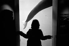vancouver 2017 (SimonSawSunlight) Tags: blackandwhite analogue film m rangefinder leica street documentary photography falsekillerwhale dolphin whale aquarium silhouette m2 35mm f25 trix 400 400asa kodak ilford ilfotec ddx vancouver bc british columbia