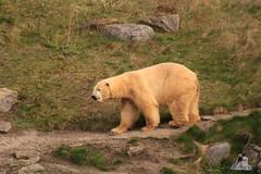 Erlebniszoo Hannver 15.04.2017 092 (Fruehlingsstern) Tags: eisbären polarbear sprinter melana elefanten seelöwen weiskopfseeadler yukonbay erlebniszoohannover hannover canoneos750 tamron16300 zoo