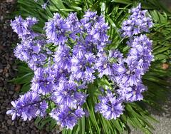 Bluebells in my garden (ArtGordon1) Tags: flowers bluebells petals walthamstow london england uk plant davegordon davidgordon daveartgordon davidagordon daveagordon artgordon1
