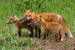 IMG_1569 red fox with her 'kits' during 'takeout'.. (starc283) Tags: starc283 flickr flicker fox red redfox kit foxkit foxkits nature naturesfinest nebraska canon canon7d outdoors outdoor