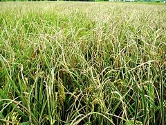 東北季風盛行,籲請加強水稻白葉枯病防治